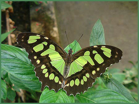 Belize Butterfly philaethria